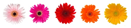 gerber flowers isolated on: heads of gerbera flowers isolated on white background