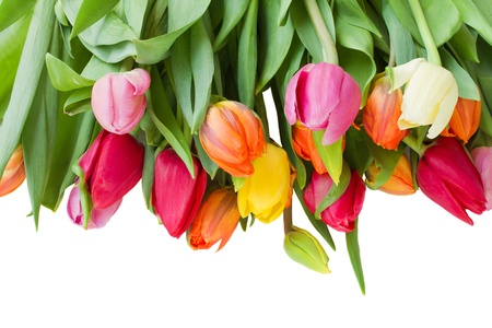 fresh spring  tulips border isolated on white background photo