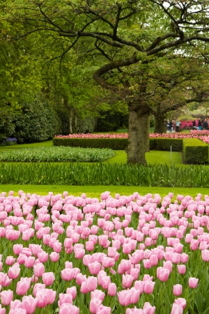 pink tulips  blossoming in dutch garden Keukenhof, Holland photo