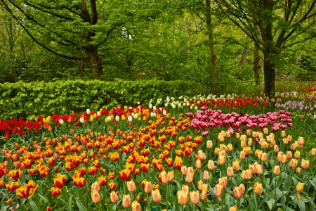Colorful spring flowers and blossom in dutch garden Keukenhof, Netherlands photo