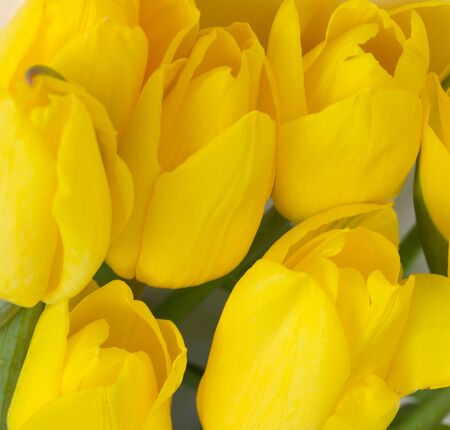 close up of yellow tulips in field photo