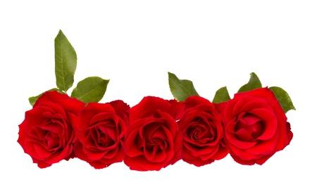 red roses: frontera de rosas rojas