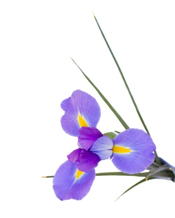 iris flower photo