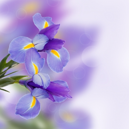 purple iris: blue irises fresh spring  flowers  with copy space