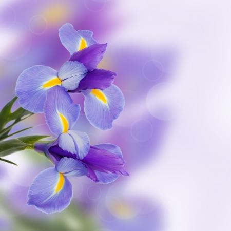 niebieskich irysów świeże kwiaty z miejsca na kopię Zdjęcie Seryjne
