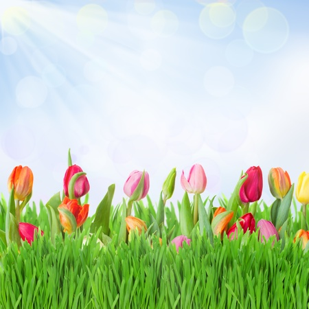 tulips garden with grass on blue sky background photo