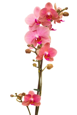 red orchid: branch of pink  orchid  isolated on white background
