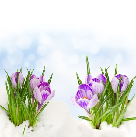 spring crocuses flowers growing from snow on bokeh background Stock Photo
