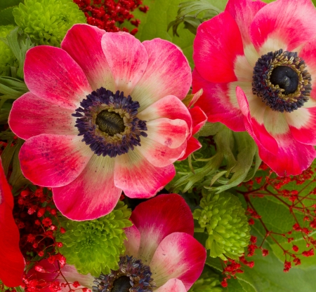 Vibrant and colorful red  anemone flowers  photo