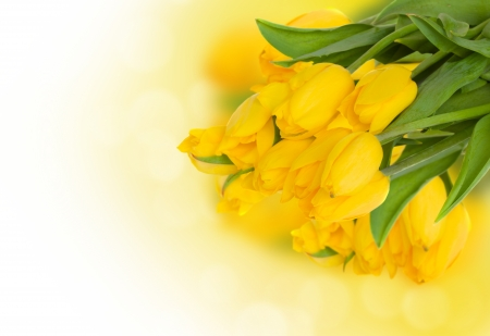 bouquet of fresh yellow tulips  on white background photo