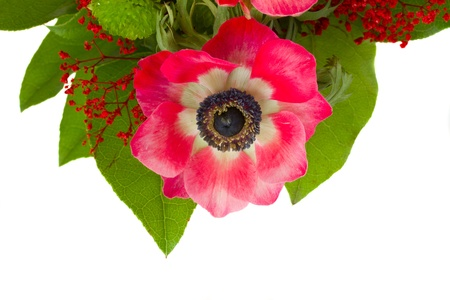 red anemone flower with green leaves   isolated on white background Stock Photo