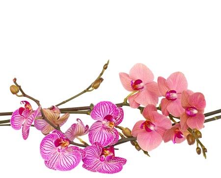 orchidee: orchidee rosse e viola vicino isolato su sfondo bianco