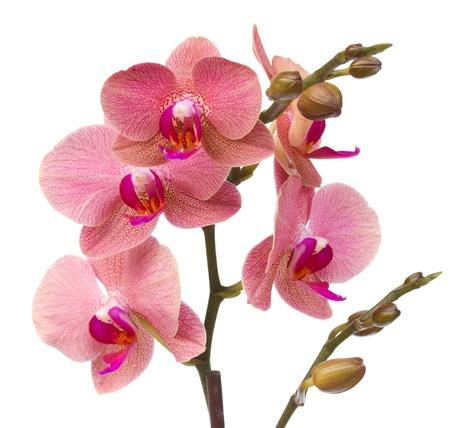 tropical border: red orchid flowers close up  isolated on white background Stock Photo