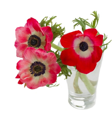 three red anemone flowers in vase  isolated on white background Stock Photo - 18203172