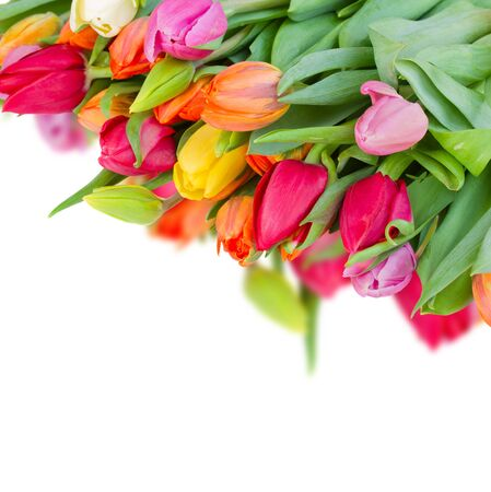 pack of fresh spring  tulips isolated on white background photo