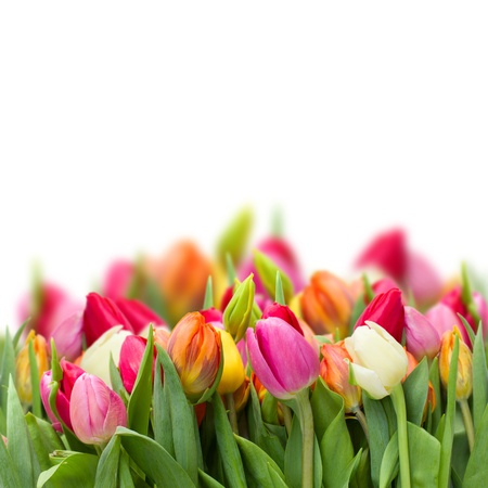 growing fresh spring  tulips isolated on white background photo