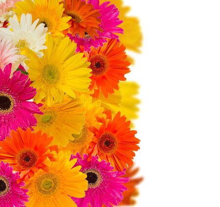 herbera flowers border isolated on white background photo