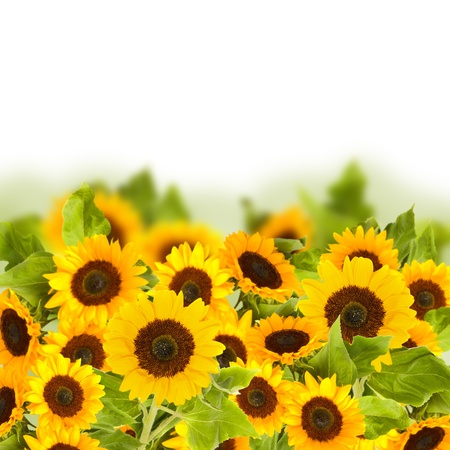 beautiful bright sunflower field  isolated on white background photo
