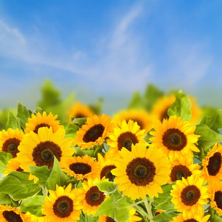 fiels of sunflowers over blue sky  in sunny day photo