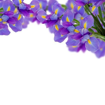 iris flower: blue irises border  isolated on white background