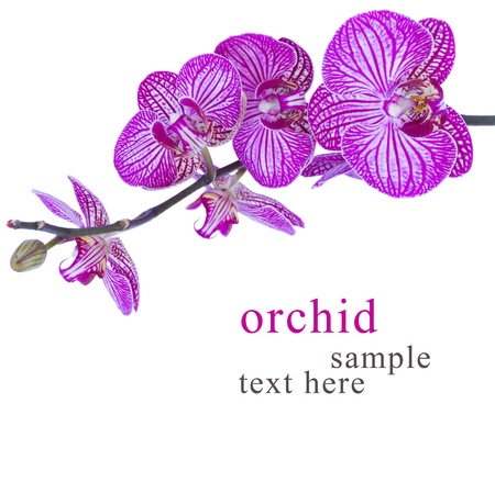 purple orchid: purple orchids  branch close up isolated on white background Stock Photo
