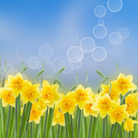 spring narcissus in garden on blue bokeh background photo