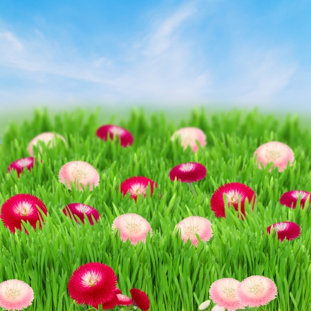 green grass lawn with daisy flowers on blue sky  photo