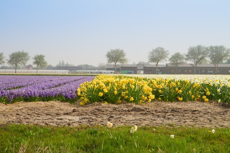 Famouse dutch flower fields    - daffodils and hyacinth photo