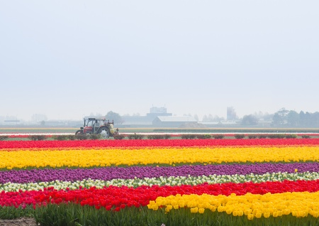 Campos de tulipanes holandeses cosecha filas multicolores photo