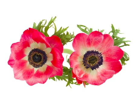 白の背景に分離された 2 つの赤いアネモネ花