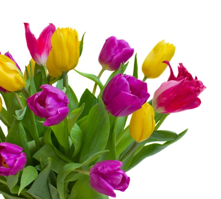 blosom: bouquet of fresh tulips isolated on white background