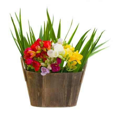bouquet of freesias flowers in wooden pot  with green leaves isolated on white background photo