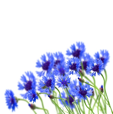 growing blue corn flower in field isolated on white  background photo
