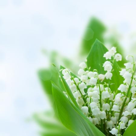 lirio blanco: lilly del valle de flores en azul bokeh