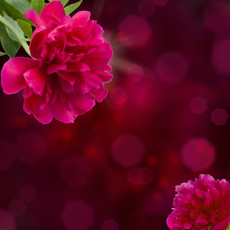 mauve peony flowers on violet bokeh background with copy space photo