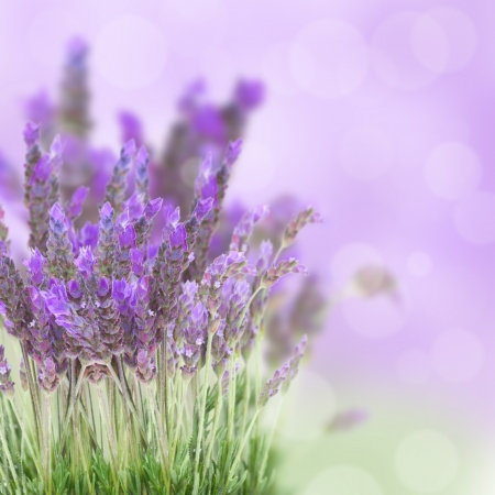 Lavender flowers field with soft purple background