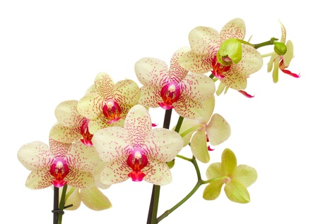 yellow and red orchid branch isolated on white background photo