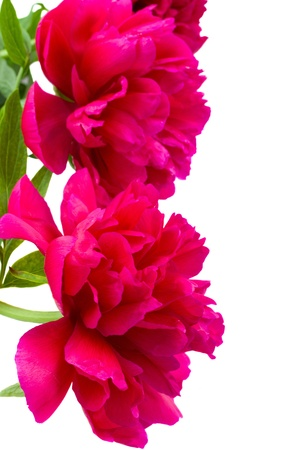 border of peony flowers  isolated on white background photo