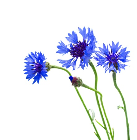 blue corn flowers   isolated on white background photo