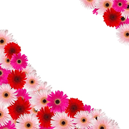 herbera: pink and red herbera flowers border isolated on white background