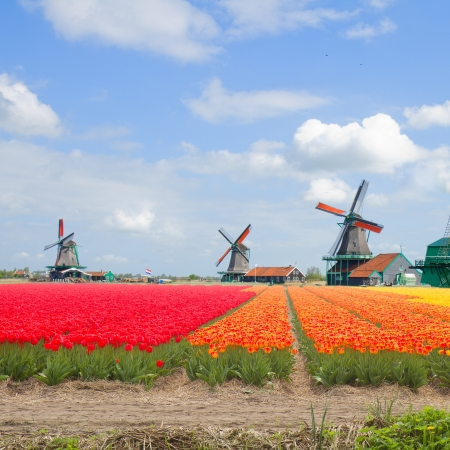dutch windmills over tulips field in sunny day, Holland