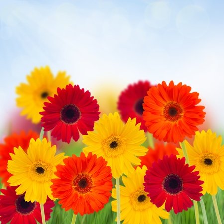 garden of  gerbera flowers  on blue sky   bokeh background photo
