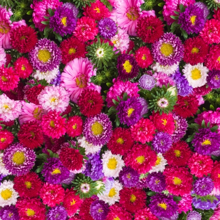 red, pink and violet aster flowers background