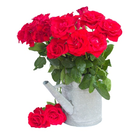 bouquet of fresh scarlet roses in watering can isolated on white background photo