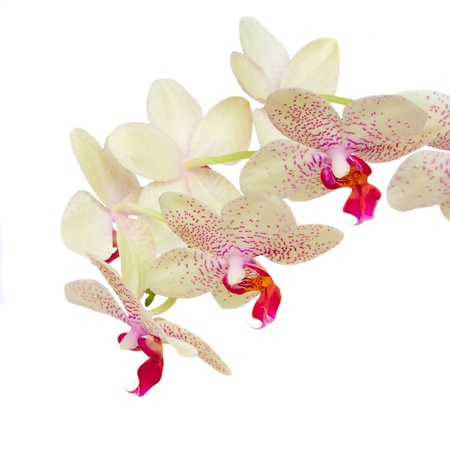 macr: macr of white with violet orchid  flowers isolated on white background