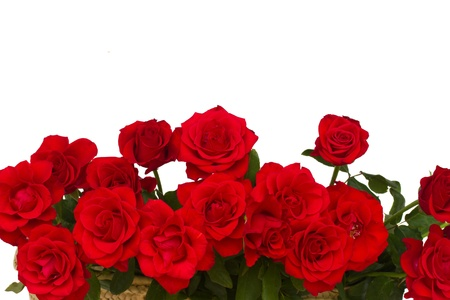 border of scarlet roses  isolated on white background photo