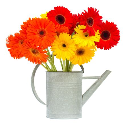 gerbera flowers in gray watering can isolated on white background photo