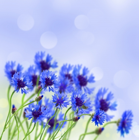 blue corn flower growing in field on blue sky  background photo