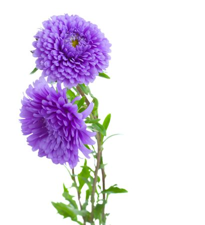 tree aster lilac  flowers isolated on white background photo