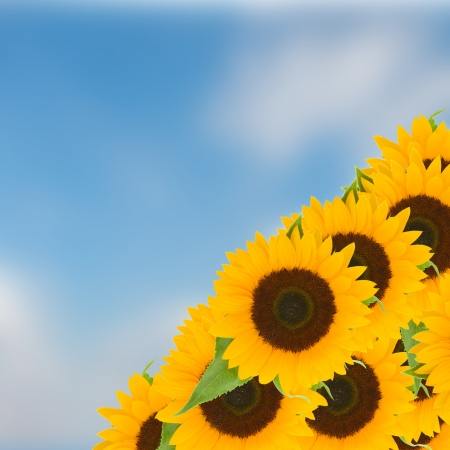 bight: bight sunflowers on blue sky in sunny day Stock Photo